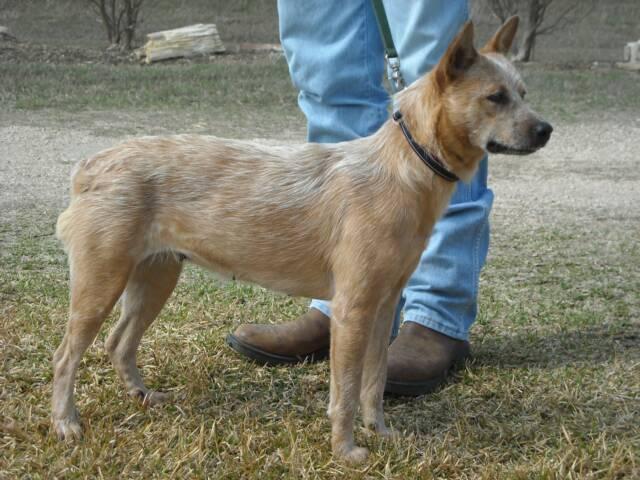 Red Heeler Puppies Texas