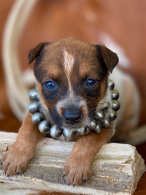 Red heelers for sale in texas, dog breeders, cental texas cow dogs, Australian cattle dogs for sale, red heeler puppies