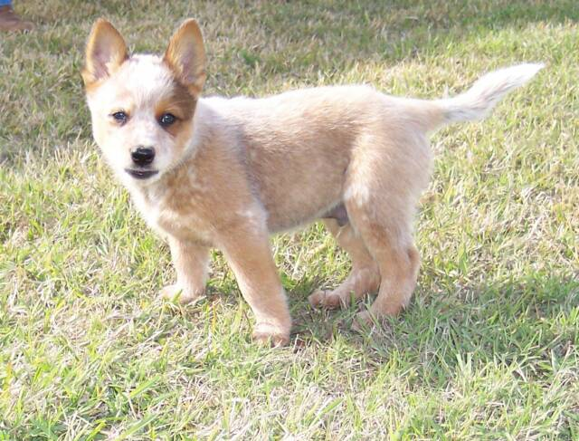 tail - australian - cattle dogs - puppy - puppies - for sale -