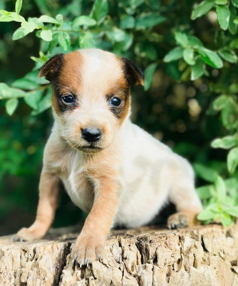 red heelers for sale in Texas, Blue Heelwes, Texas puppies, cattle dogs,